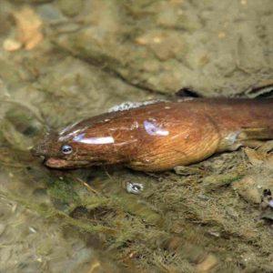 ゴマホタテウミヘビ